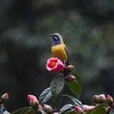 橙色鼓起的Leafbird 免版税库存图片