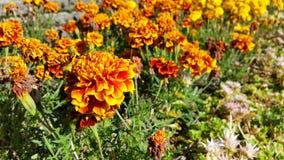 橙色,红色和黄色花 库存图片