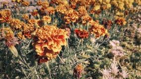 橙色,红色和黄色花 免版税库存图片