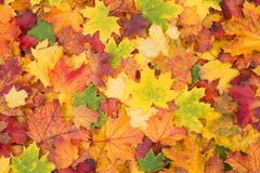 橙色,红色,黄色和绿色枫叶落背景 免版税图库摄影