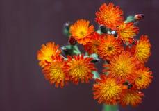 橙色水兰属的植物 免版税库存图片