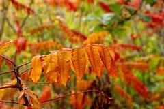 橙色黄栌在反对被弄脏的背景的秋天 库存图片