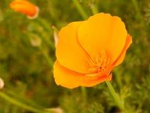 橙色头状花序在晚夏下午的阳光下开放 免版税库存图片