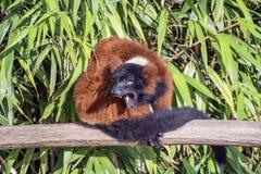 橙色黑狐猴真正地恼怒 免版税库存图片