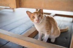 橙色&白色猫 免版税库存图片