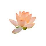 橙色黄睡莲花,在湖,水百合,池塘百合,睡莲,莲属nucifera,亦称印地安莲花的绿色领域 库存图片