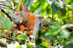 橙色绿色鬣鳞蜥爬行动物蜥蜴在雨林里 免版税库存照片