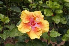 橙色/黄色/桃红色木槿 免版税库存照片