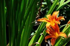 橙色黄花菜在后院庭院里 免版税库存照片