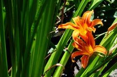 橙色黄花菜在后院庭院里 免版税库存图片