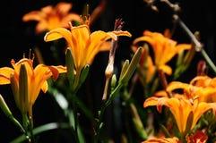 橙色黄花菜在后院庭院里 免版税图库摄影