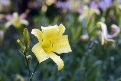 橙色黄花菜庭院  图库摄影