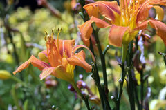 橙色黄花菜庭院  免版税图库摄影