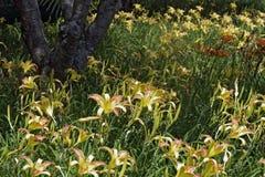 橙色黄花菜庭院  免版税库存图片
