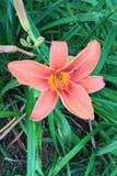 橙色黄花菜 库存图片