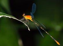 橙色蜻蜓(蜻蜓目Zygoptera) 免版税库存照片