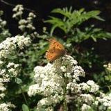 橙色蝴蝶和白色 免版税库存照片
