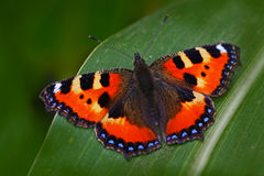 橙色蝴蝶小龟甲Aglais urticae,坐在自然的绿色事假 从草甸的夏天场面 胡子 免版税库存图片