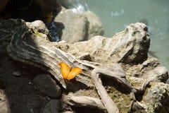 橙色蝴蝶,泰国 免版税图库摄影