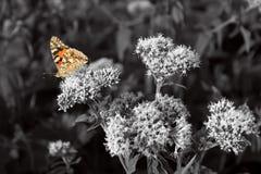 橙色蝴蝶,黑白摄影 库存照片