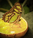 橙色蝴蝶 免版税图库摄影