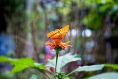 橙色蝴蝶 图库摄影