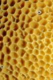 橙色balanophyllia珊瑚杯子的elegans 免版税库存图片