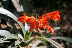 橙色clivia在比勒陀利亚,南非 免版税库存照片