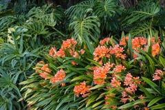 橙色clivia花卉生长在森林地 图库摄影