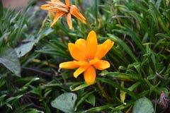 橙色floee在Th庭院里 免版税库存图片