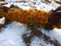 橙色fungas 图库摄影