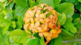 橙色Ixora coccinea花 图库摄影