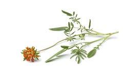 橙色Kidneyvetch花的枝杈 免版税库存照片