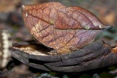 橙色oakleaf蝴蝶吃 库存图片
