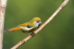 橙色paradoxornis parrotbill verreauxi 免版税库存图片