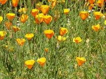橙色poppys的美好的领域 图库摄影