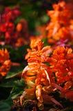 橙色salvia花在阳光下,泰国 免版税库存图片