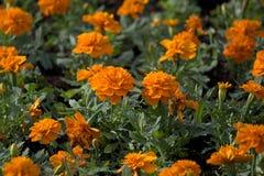 橙色Tagetes在夏天草坪开花 库存图片