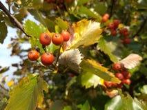 橙色whitebeam莓果在秋天 免版税库存照片