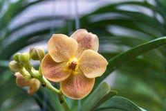 橙黄的花(兰科,兰花花) 库存图片