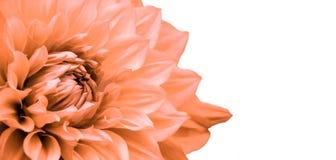 橙黄色大丽花花宏观照片当在无缝的白色背景中隔绝的框架边界 库存照片