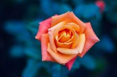橙黄色玫瑰蓝色背景 免版税图库摄影