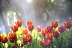 橙黄色郁金香开花开花的成长在薄雾的树下 库存图片