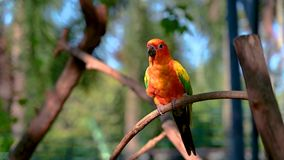 橙黄色鹦鹉,绿色翼,在分支录影4k的棍子 影视素材