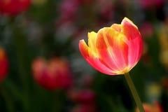 橙黄色在五颜六色的背景的郁金香花 免版税库存图片