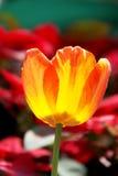 橙黄色在五颜六色的背景的郁金香花 图库摄影