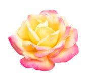 橙黄色玫瑰 库存照片