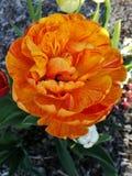 橙黄色的双重郁金香 免版税库存图片