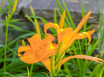 橙黄Lillies 免版税库存图片