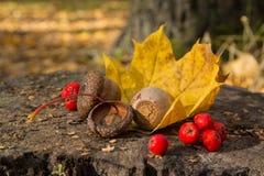 橡子、花楸浆果和一片黄色叶子在树桩 免版税库存图片